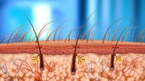 baardcirculatie-illustratie