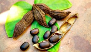 mucuna pruriens in zijn natuurlijke vorm